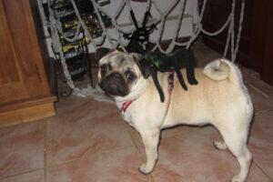 pug-mops-halloween