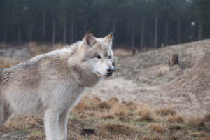 wolfhonden