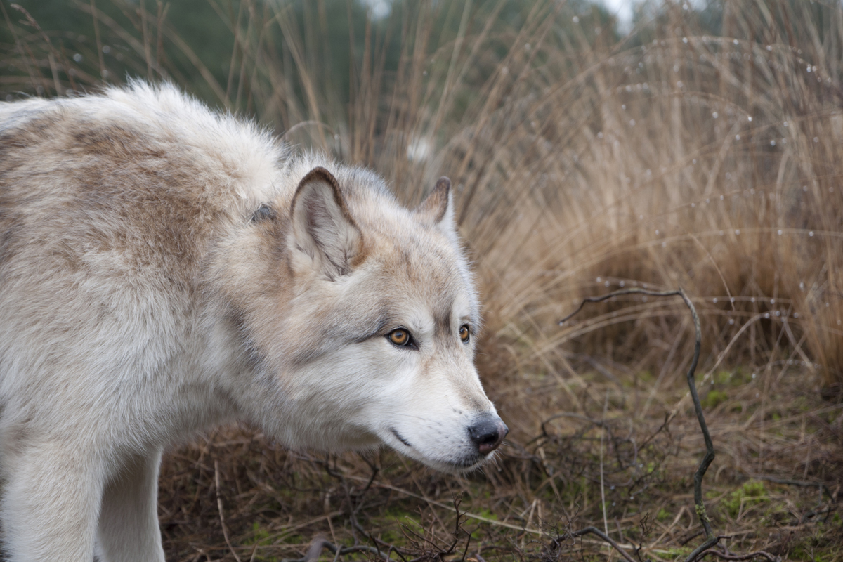 Op stap met wolfhonden