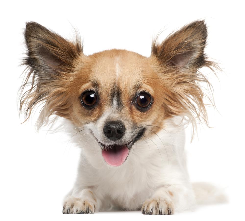 hond in Woef