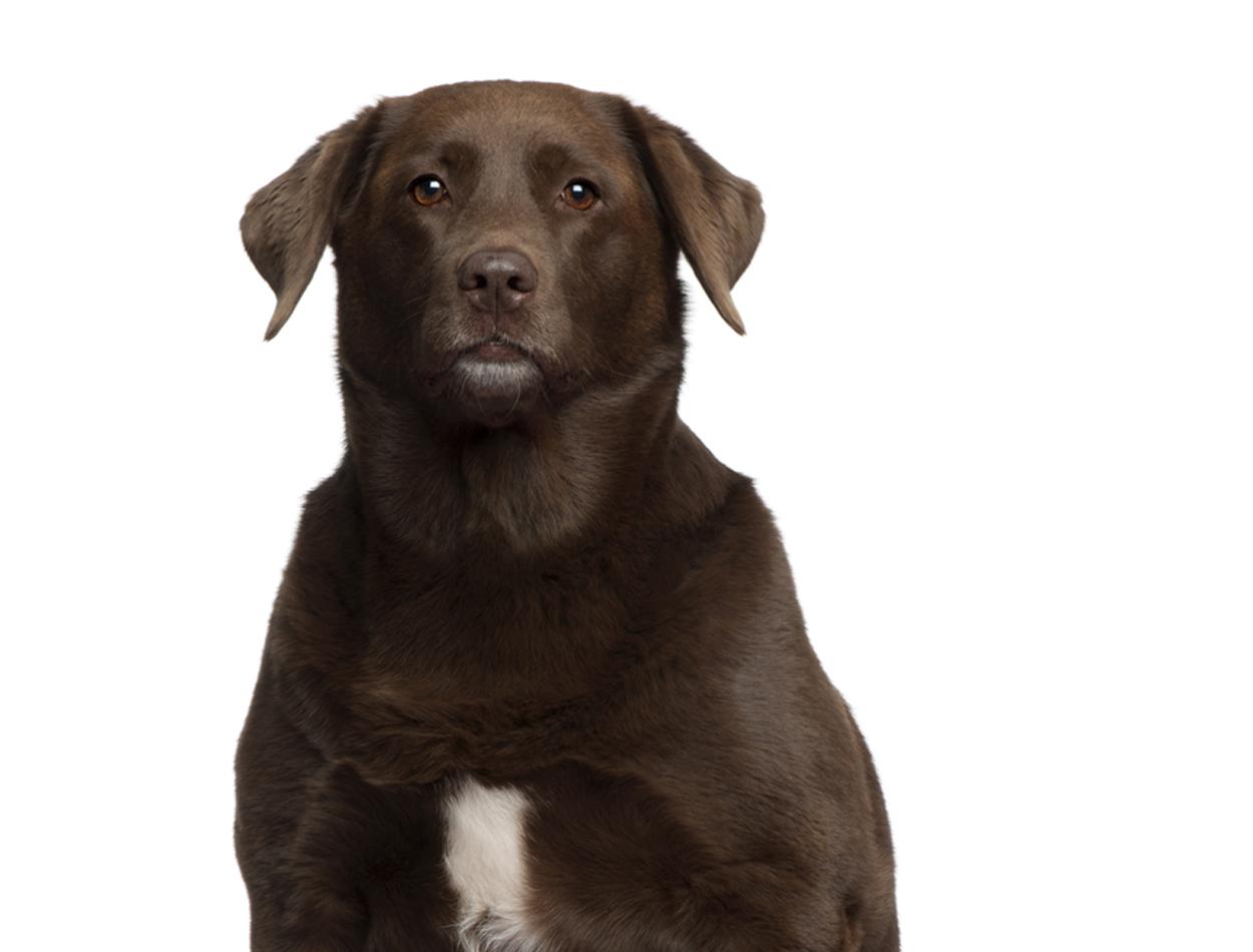 Te dikke labrador? Het zit in zijn genen!