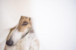 spaanse hond verwaarloosd