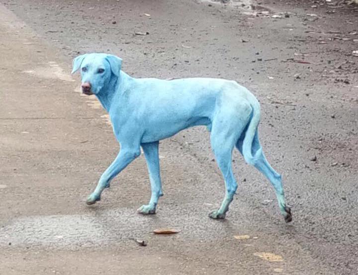 blauwe honden india