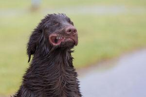 harige honden vangen veel wind