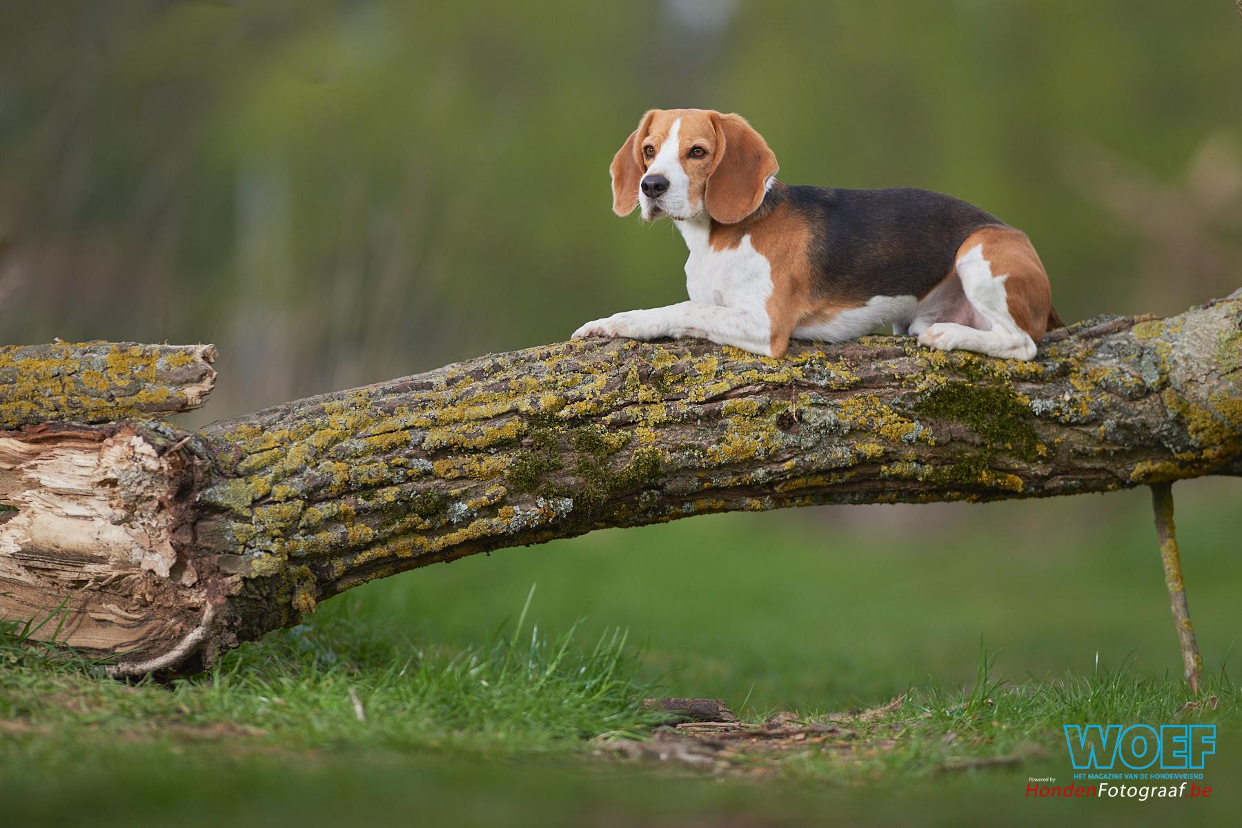 GEZOCHT: Beagles!