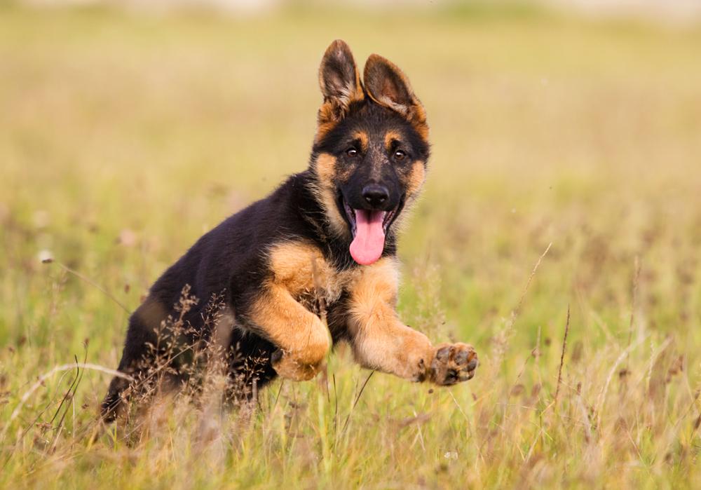WOEF zoekt Duitse herders